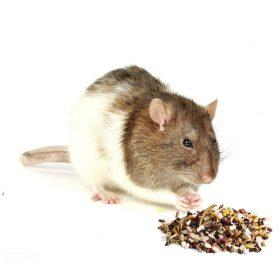 Patkány jutalomfalat