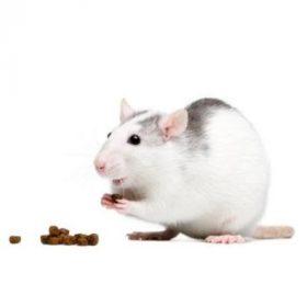 Patkány táp